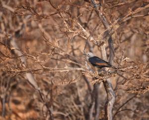 Socotran Starling